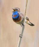 Bluethroat singing on the stalk