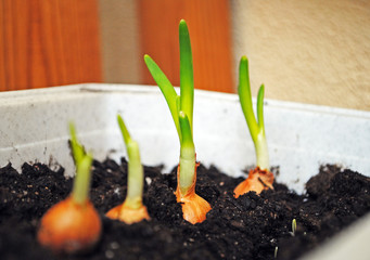 Cultivation of green onions seedlings