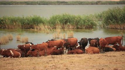 Cows Near The Lake
