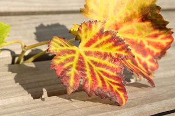Weinblätter Herbstfärbung