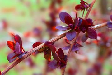 spring barberry branch