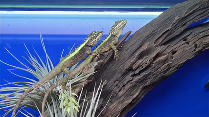 two lizards on tree