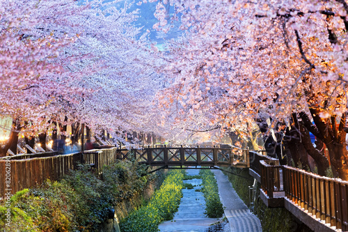 Leinwandbild Motiv cherry blossoms, busan city in south korea