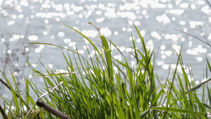 grass on the lake