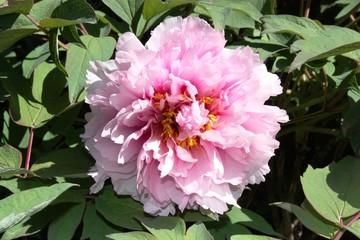 Pfingstrosen in Italien Paeonia- Blüte der Zuchtsorte 'Yukidoro'