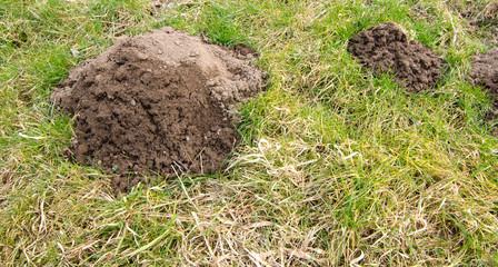 Big mole hill in the garden.