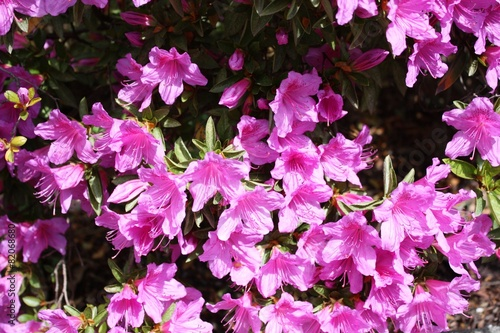 Foto op Plexiglas Azalea In voller Blüte japanische Azaleen am Lago Maggiore im Frühling
