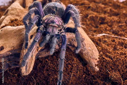 tarantula Phormictopus sp purple - 82071283