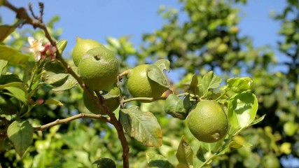 Branches with unripe lemons