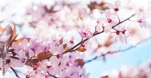 Fotobehang Kersen Rosa Blüten, Blütenzweige