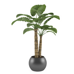 Decorative palm plant tree in the ball pot