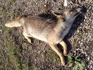 yol kenarında ölmüş tilki