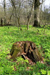 Old rotten wooden stump in forest