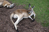 kangaroos resting
