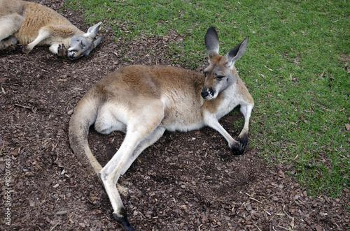Poster Kangoeroe kangaroos resting