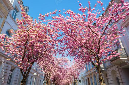 Straße mit Kirschblüte in der Bonner Altstadt