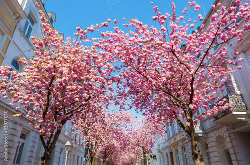 Keuken foto achterwand Kersen Straße mit Kirschblüte in der Bonner Altstadt
