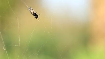 Mouche toile d'araignée piège 3
