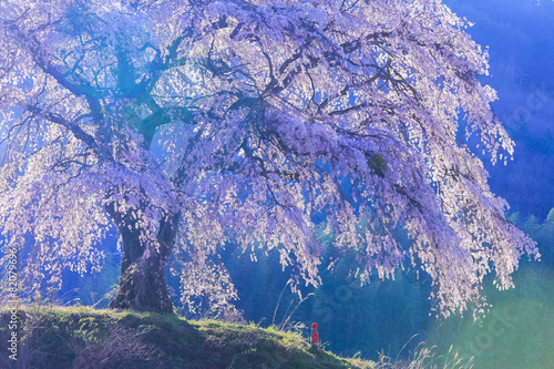 Foto op Canvas Kersen 朝光の枝垂れ桜