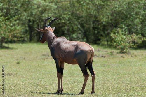 Staande foto Antilope topi antelope