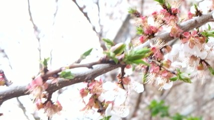 Cherry blossoms macro or very closeup footage