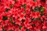 赤いツツジ(躑躅)の花
