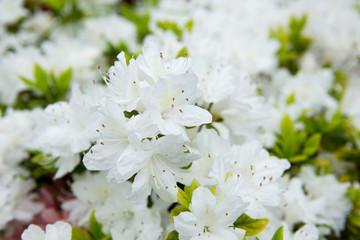 白いツツジ(躑躅)の花
