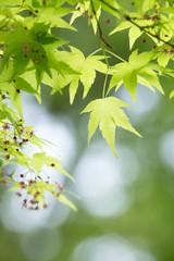 新緑の葉っぱ(もみじ)
