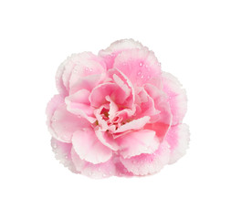 Pink carnation isolate on white with work path