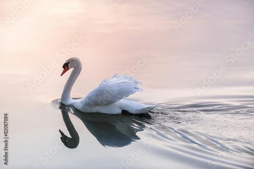 Fototapeta Sunset swan