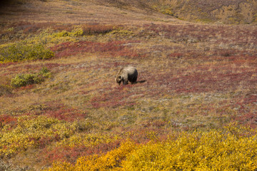 Grizzly bear denali national park