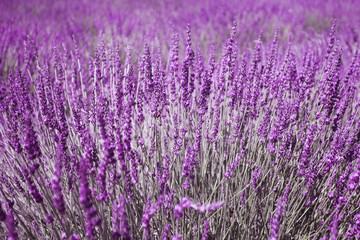 Lavender flowers selective focus background