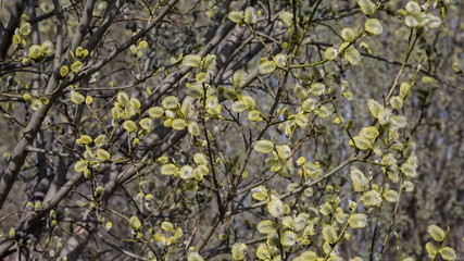 blooming willow springtime