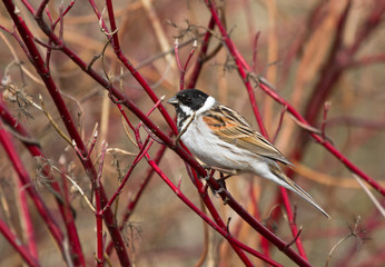 Common reed bunting on the branch