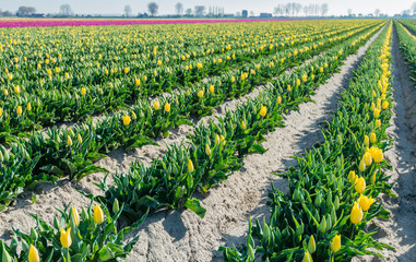 Converging rows of yellow blooming tulip plants early in the mor
