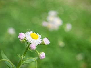 ハルジオンの花と蕾