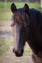 Beauty foal - friesian horse stallion