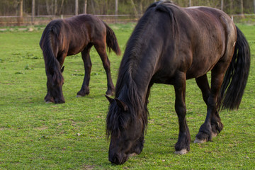 Friesian horse mare with foal