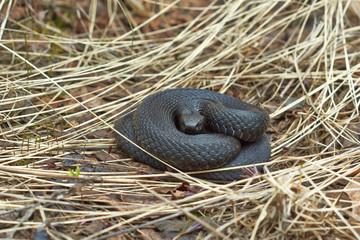Poisonous black adder .