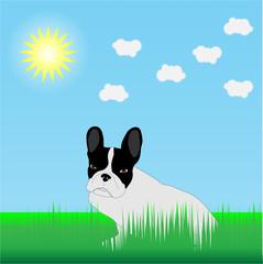 French Bulldog in the grass in the sun