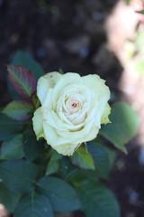 Rose flower close-up
