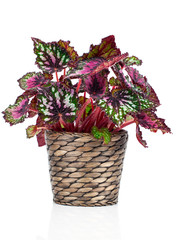 Begonia plant in pot, on white background