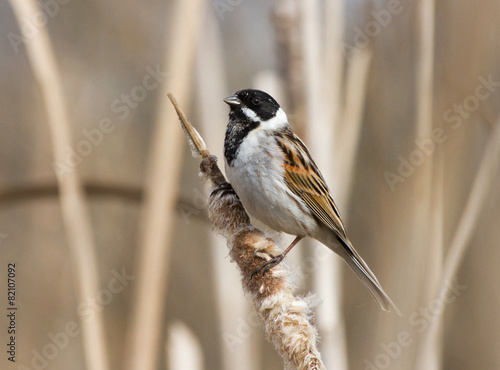 Common reed bunting on the reedmace