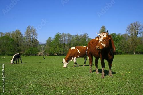 Papiers peints Vache vaches dans un champ