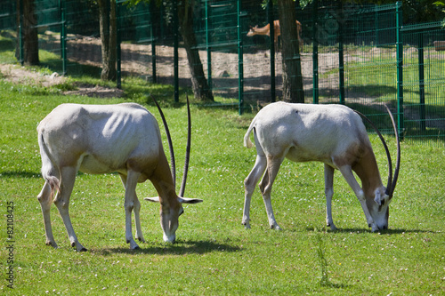 Staande foto Antilope Two antelopes at the zoo
