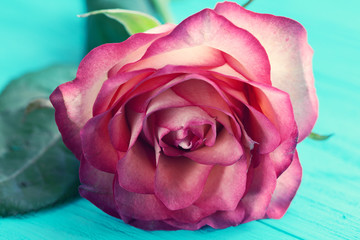 Rose. Floral background for congratulations. Selective focus
