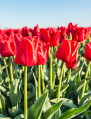 Flowering red tulips from close