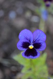 Violet flower with yellow center