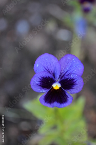 Deurstickers Pansies Violet flower with yellow center