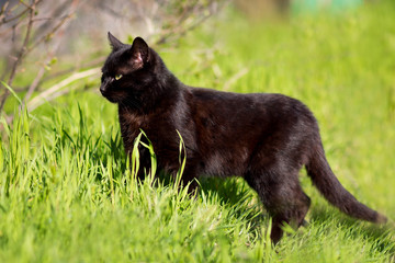cat walks in green grass